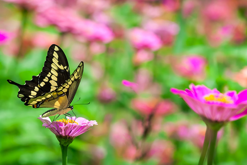 Butterflies Abound! ~ Make Your Yard a Pollinator Haven